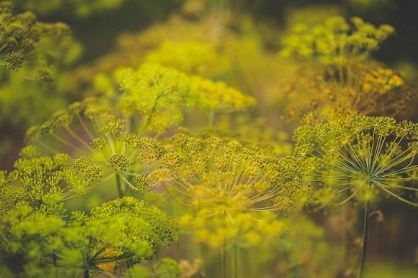 [Болезни зеленных и зонтичных культур