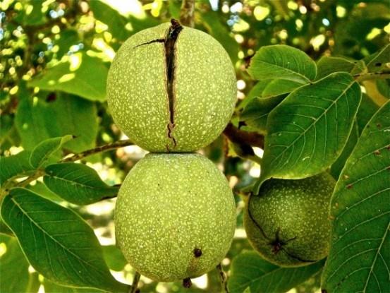 Грецкий орех: о культуре, выращивание, размножение