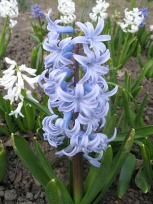 Grand Lilac
