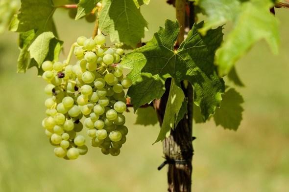 Работа на винограднике в апреле