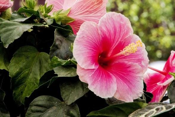 Гибискус садовый: красота без забот