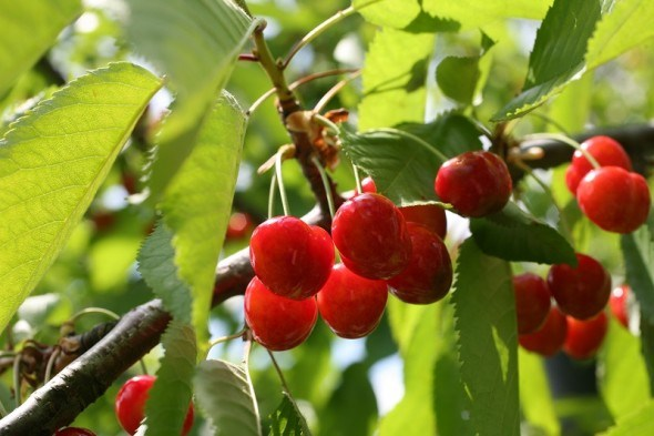 Стройная красавица-черешня: приемы летней обрезки