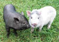 Очень выгодные свиньи