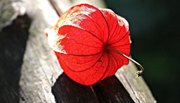 Для ленивых огородников физалис — находка