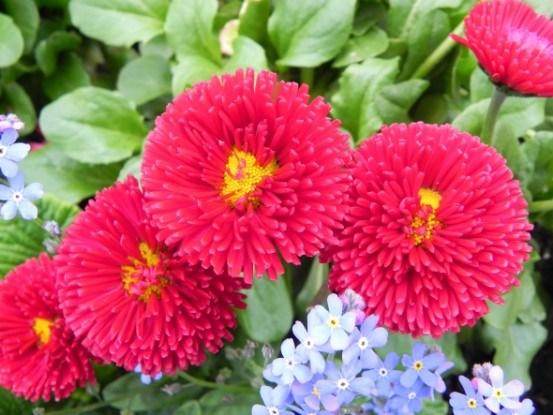 Маргаритка – раннецветущий неприхотливый цветок