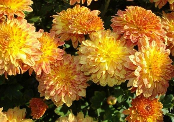 Хризантема – радость уставшего сада