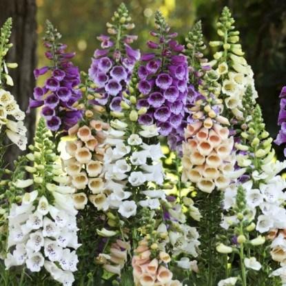 Наперстянка – цветок с ядовитыми листьями и стеблем