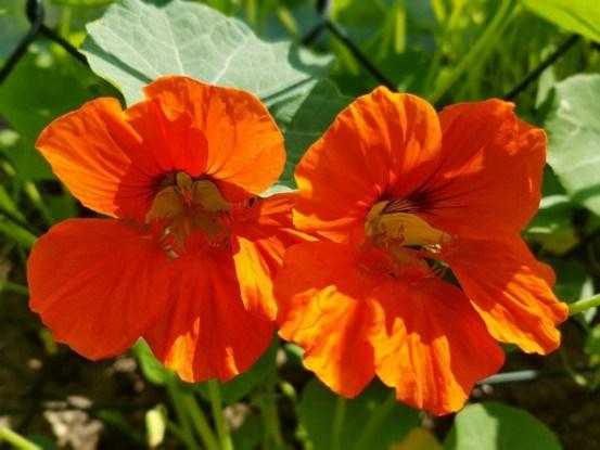 Настурция как съедобное растение