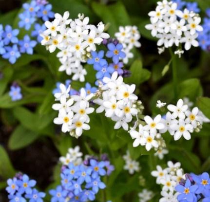 Незабудка – низкорослый цветок с толстым стеблем, начинающий цвести еще в мае