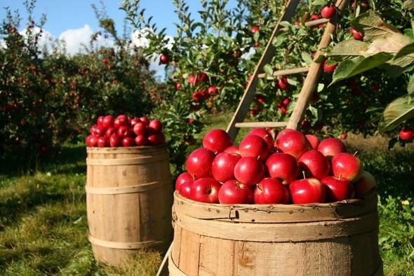 6 важных агромероприятый: что необходимо сделать в саду в августе?