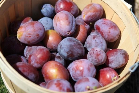 Время сливы: высокоурожайные сорта для приусадебного участка