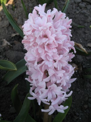 Shina Pink