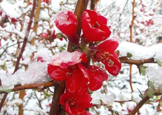 Хеномелес зимой