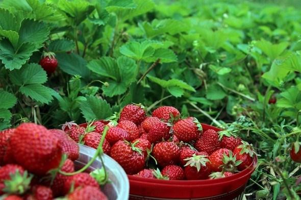 Живая ягода: закладываем органическую плантацию земляники