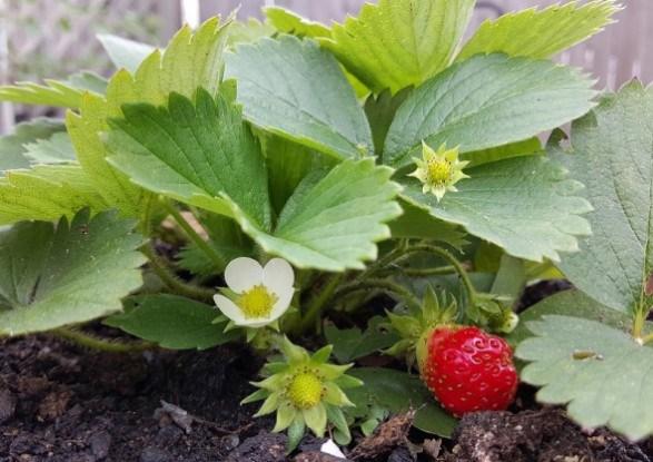 Земляника весной: посадка и уход
