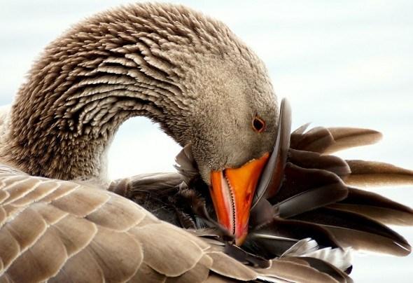 Начало племенного сезона у домашних гусей