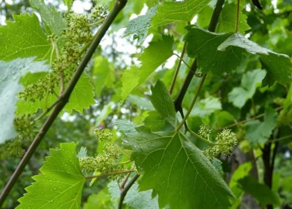 Зеленые операции на винограднике