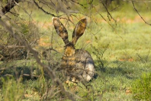 Зайцы в саду