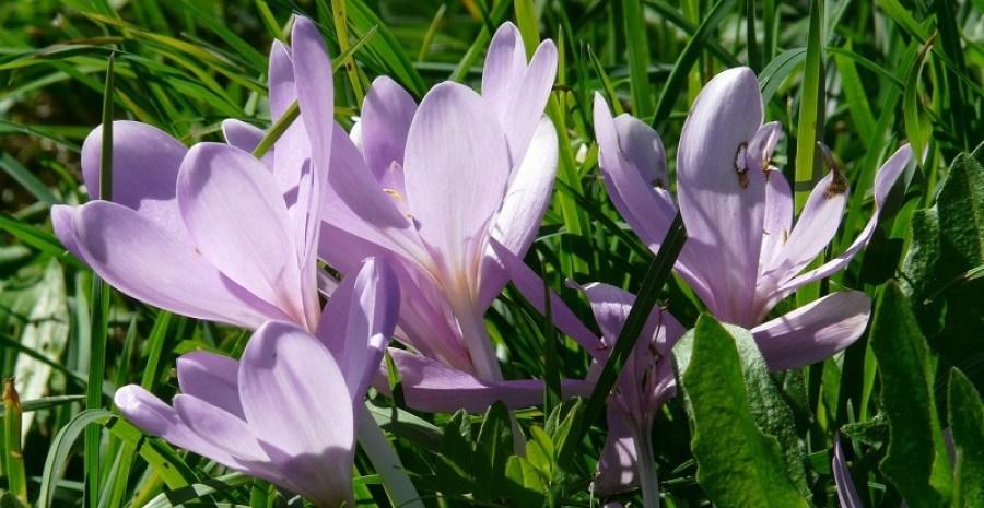 Очарование осеннего сада – колхикум