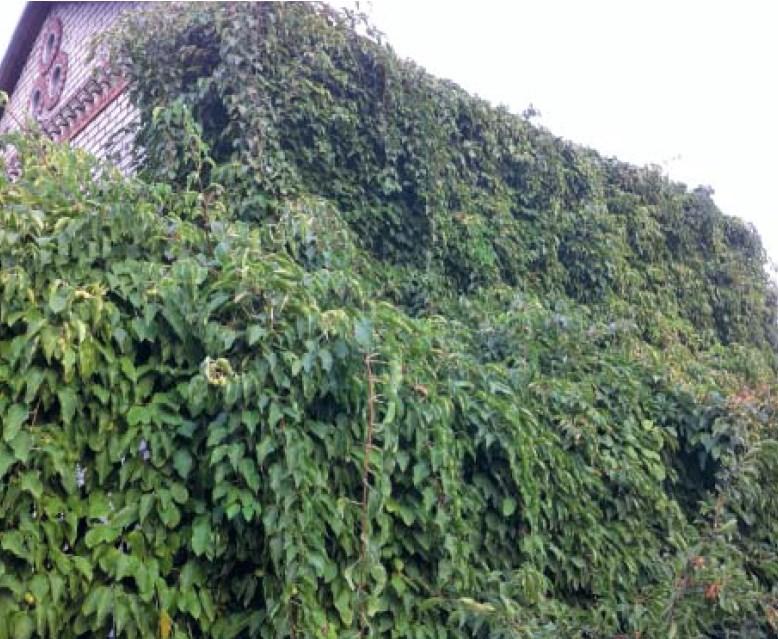 Актинидия выращивание и уход в сибири 50