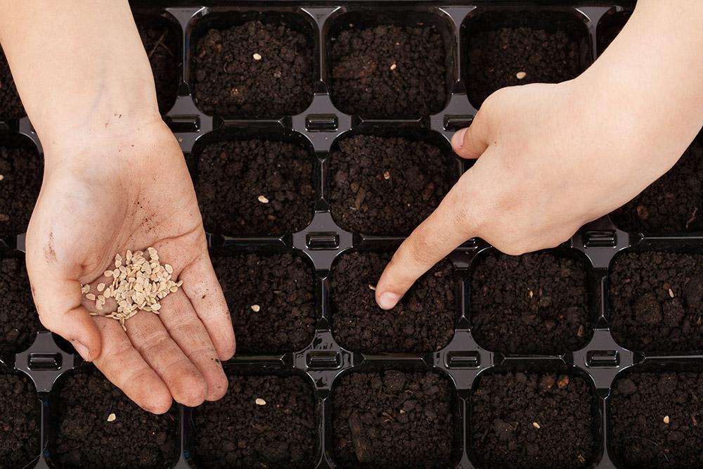 Подготовка семян кабачков к посеву на рассаду в домашних условиях 18