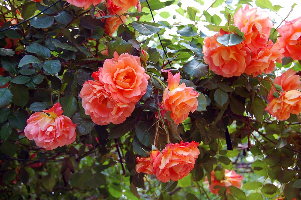 Роза вестерленд в ландшафтном дизайне