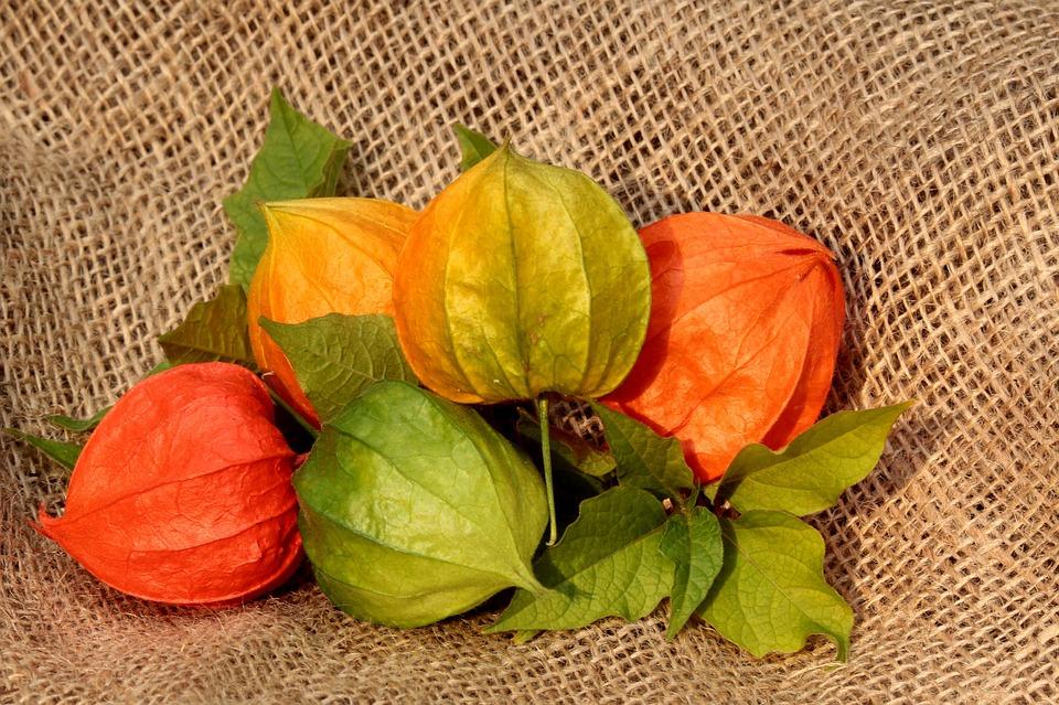 Физалис цветы