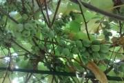 Актинидия: прекрасная зеленая…