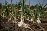 Тепличные условия портят не всех: выращиваем лук рассадным способом