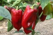 Болгарский перец растет на грядках