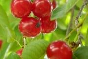 Защита вишни от вредителей