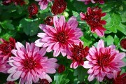 Хризантема цветок розовый