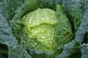 Препарати для захисту овочевих, ягідних та плодових культур