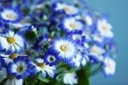 Цинерария цветки
