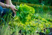 Самые первые зеленные овощи восполнят весеннюю нехватку витаминов