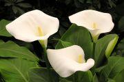 Красавица калла: размножение, агротехника, популярные сорта