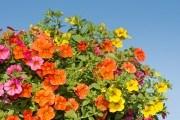 Миллион разноцветных колокольчиков: выращиваем калибрахоа