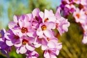 Бадан или бергения: как выращивать необычный многолетник?