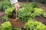 Салат открывает сезон витаминной зелени