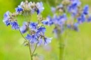 Синюха голубоглазая: размножение, заготовка сырья, применение в народной медицине