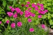 Армерия — необычный цветок: агротехника, размножение, сорта и виды