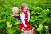 Дети сбор ягод земляники
