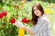 7 самых распространенных болезней розовых кустов: профилактика и лечение