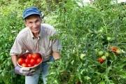 Мужчина томаты выращивание урожай