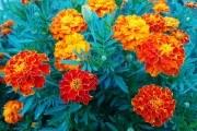 Выращиваем бархатцы в цветнике