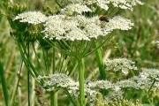 Опасные для здоровья растения на участке