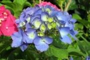 Сеем летники на сухоцветы