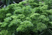 Выращиваем зелень зимой