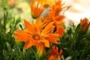 Гацания: посев и выращивание