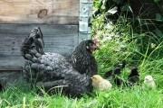 Естественная инкубация домашней птицы